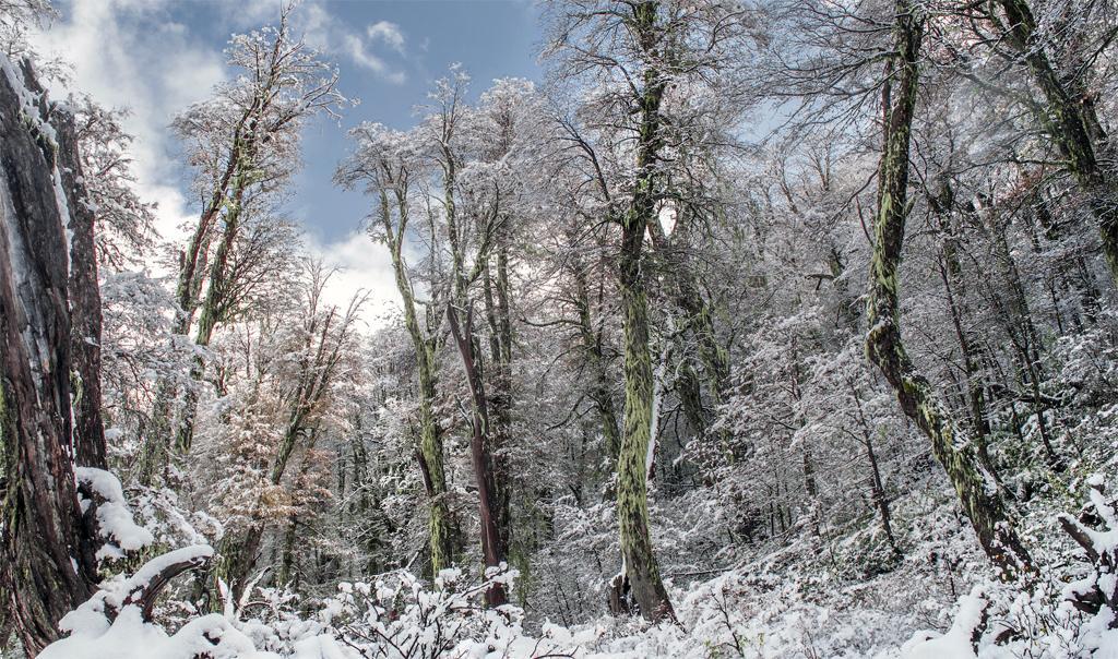 बर्फ से ढंके चिली के शीतोष्ण वन