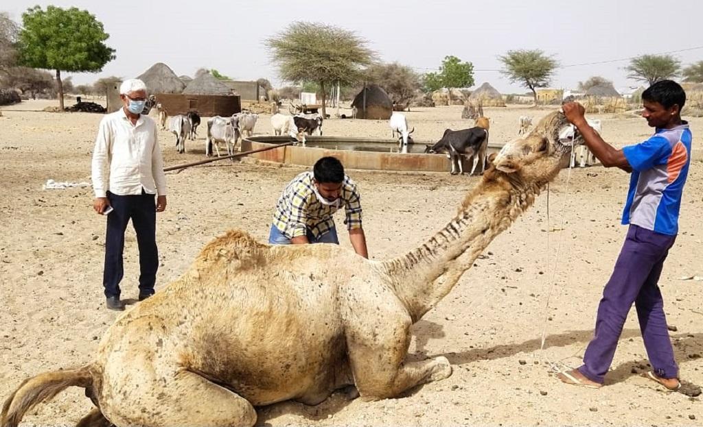 मेंज बीमारी के शिकार राजस्थान के ऊंटों का इलाज करते कर्मचारी। फोटो: माधव शर्मा