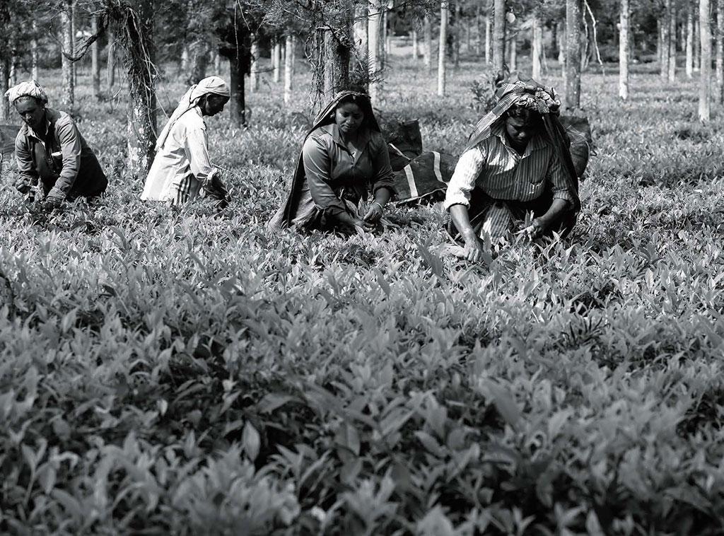 तमिलनाडु के नीलगिरि में लॉकडाउन के कारण चाय की फैक्ट्रियां बंद हैं लेकिन कामगार चाय के बागानों को जीवित रखने के लिए पत्तियां चुन रहे हैं (सिबी पल्पल्ली)