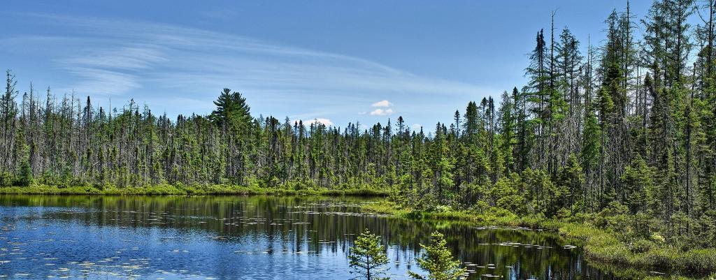 A boreal forest or taiga. Photo: Wikimedia Commons