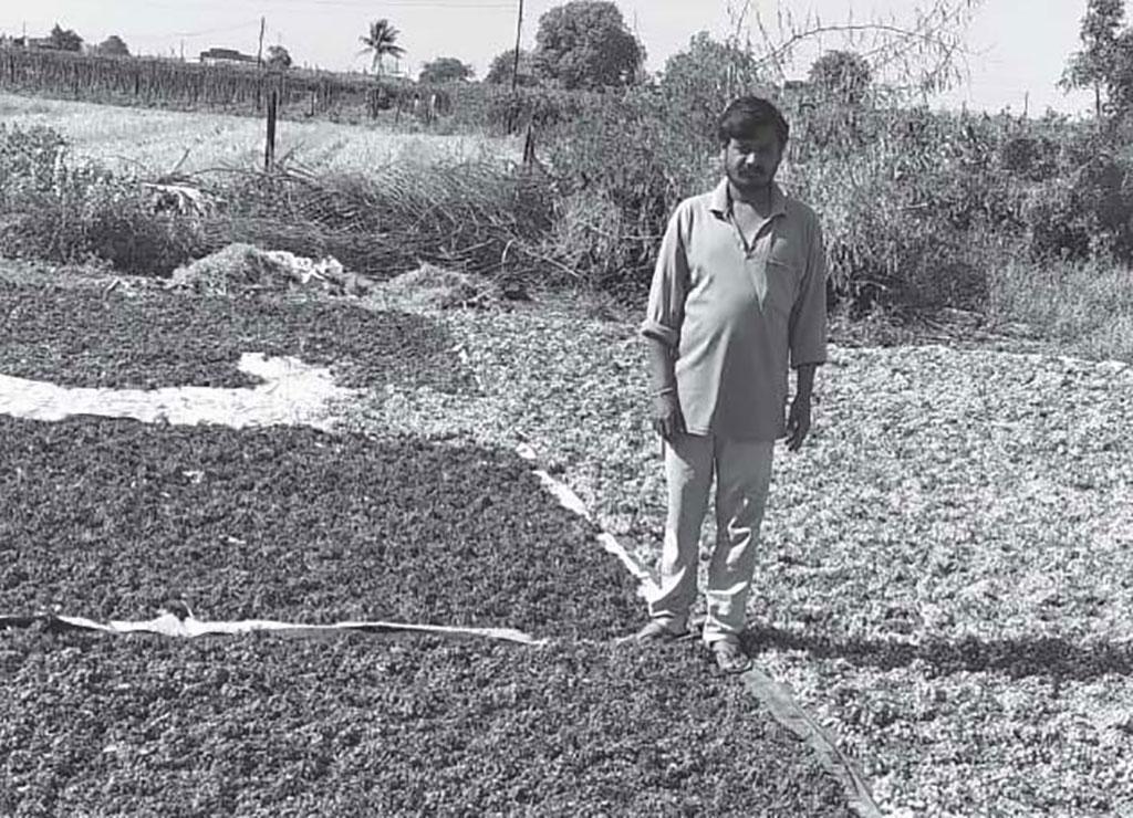 महाराष्ट्र के नासिक जिले में अंगूर उगाने वाले इस किसान को जब खरीदार नहीं मिले तो अंगूर की फसल को धूप में सुखा िदया ताकि कुछ आमदनी हो सके (विशेष प्रबंध)
