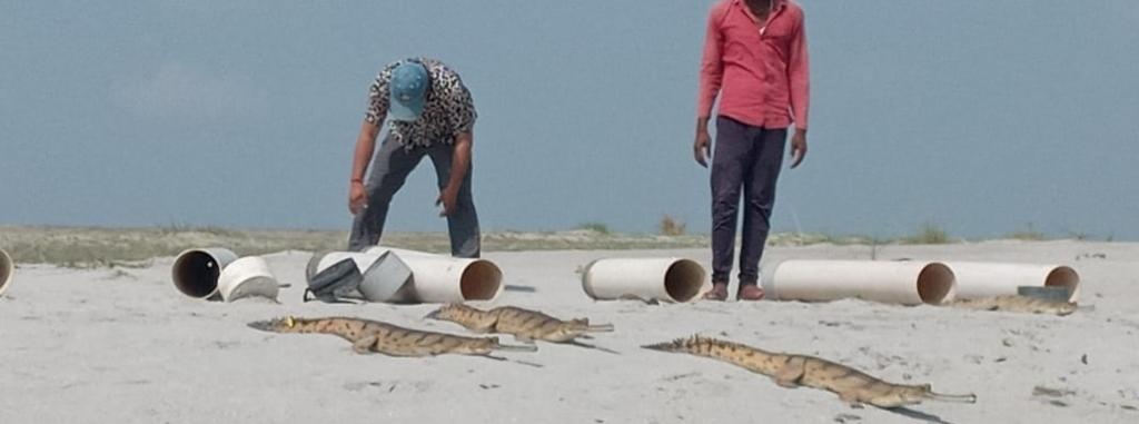 Gharials being released in the Ghaghara river. Photo: Deepanwita Gita Niyogi