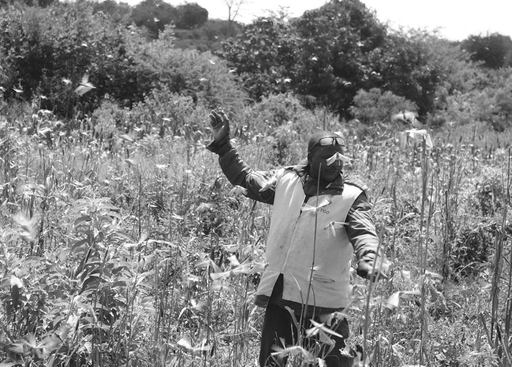 2019 में केन्या की 26 काउंटी में टिड्डी दल का हमला हुआ। अब कोविड-19 के चलते कीटनाशकों का आयात कम होने से किसानों की दिक्कत बढ़ गई है