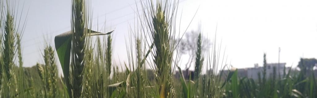 Paddy is among the most water-intensive crops in the country, according to a water productivity report Photo: Pexels