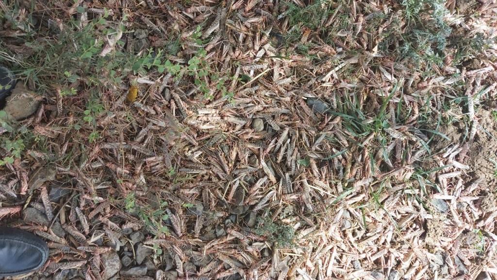 मध्य प्रदेश के मंदसौर जिले में छिड़काव के बाद मरी हुई टिड्डियां। फोटो: मनीष चंद्र मिश्र