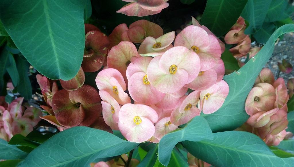Euphorbia_milii (Photo: Varsha Singh)
