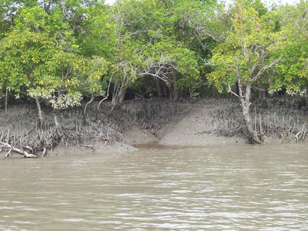 The Sundarbans mangrove forest. Photo: Wikimedia Commons