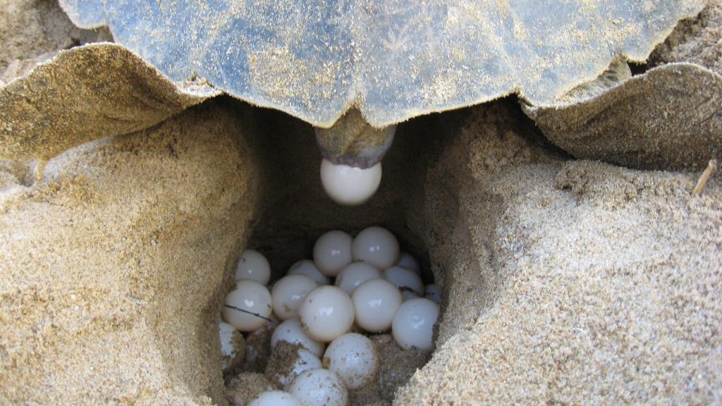 A turtle laying eggs. Photo: Ashis Senapati