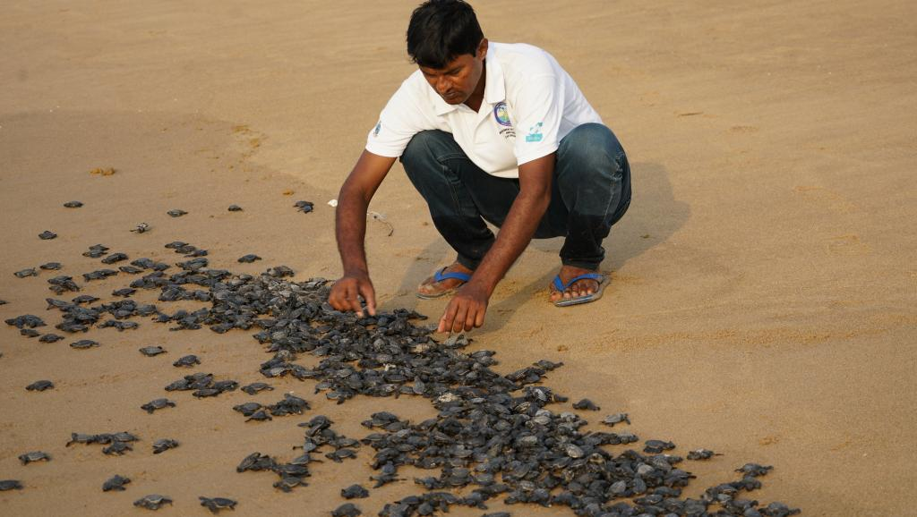 Rabindranath Sahu releasing baby turtles into the sea at Rushikulya beach. Photo: Ashis Senapati