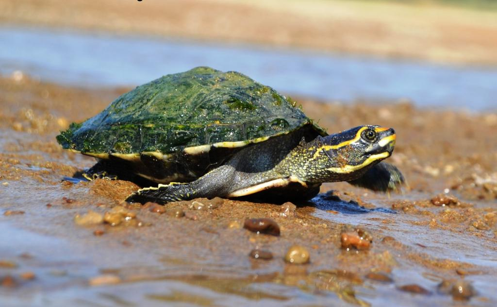 A crowned river turtle (Hardella thurjii). Unsustainable harvesting, illegal trade and habitat degradation threaten turtles across the country Photo: Shailendra Singh / Turtle Survival Alliance-India