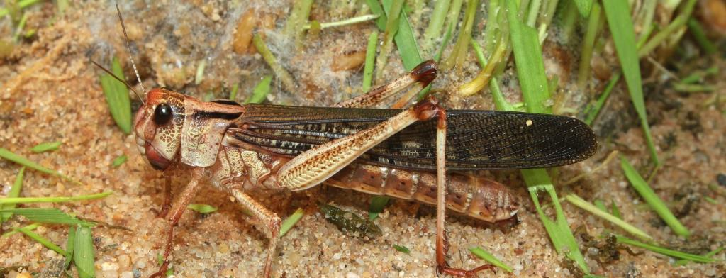 Desert locusts are multiplying at 400 times than usual due to favourable climatic conditions. Photo: Wikimedia Commons