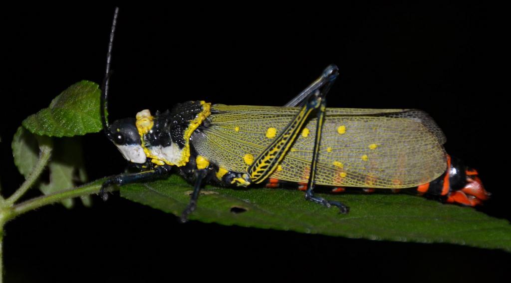 Aularches miliaris, the grasshopper species seen in Pulpally, Wayanad is not a true locust. Photo: Dhaneesh Bhaskar