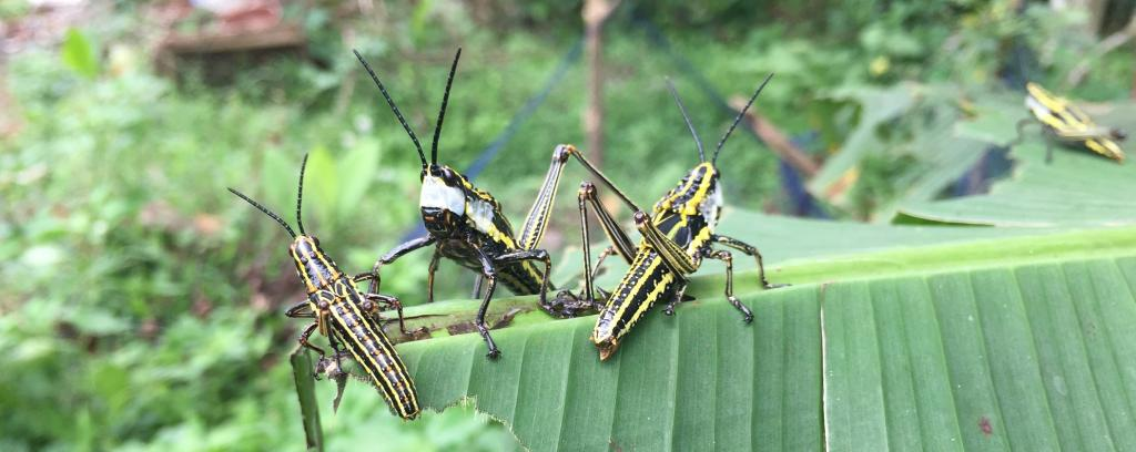 The grasshoppers seen in Pulpally, Wayanad, Kerala. They are known by the common name of 'Coffee Locusts'. Photo: Dhaneesh Bhaskar