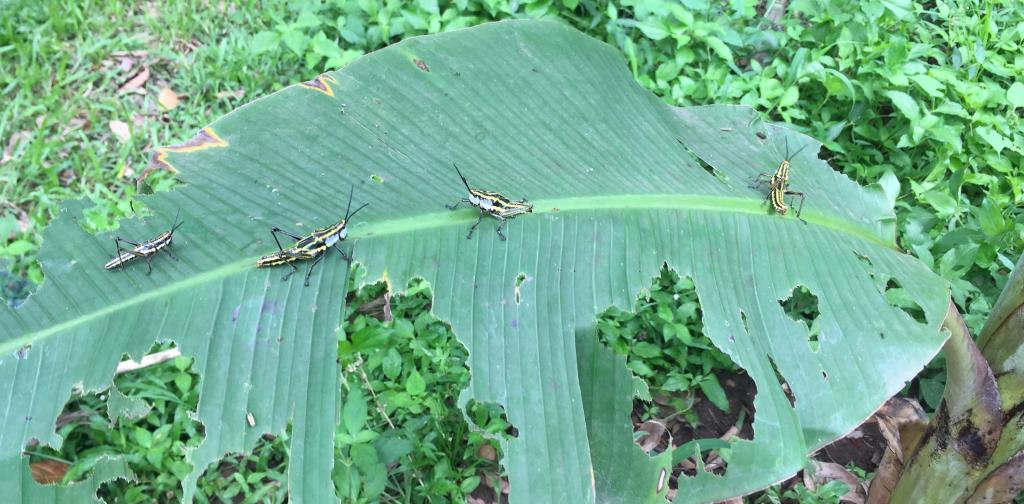 Aularches miliaris grasshoppers are a minor insect pest of coffee, banana, arecanut, coconut, teak, and mango, causing occasional economic damage. Photo: Dhaneesh Bhaskar