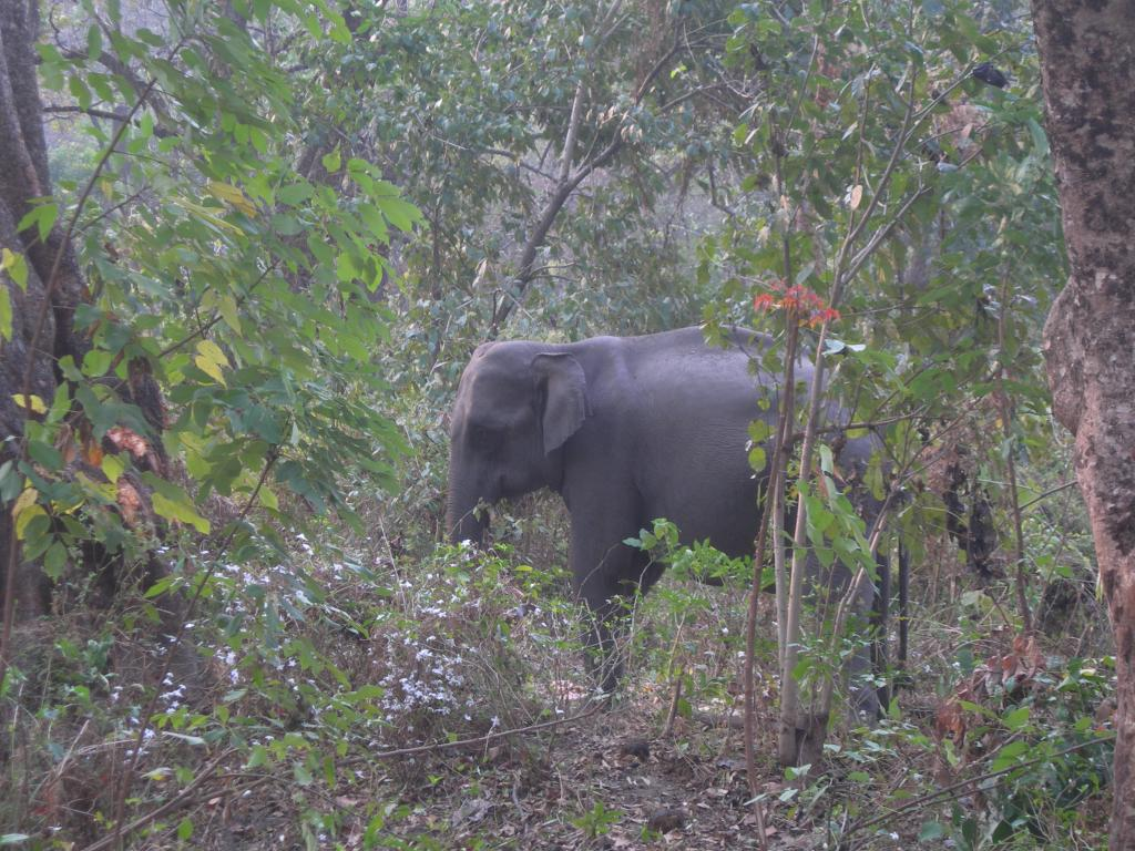 An elephant in Assam. Illegal coal mining has put a question mark on their existence in the Dehing Patkai elephant reserve. Photo: Guy Debonnet / Wikimedia Commons