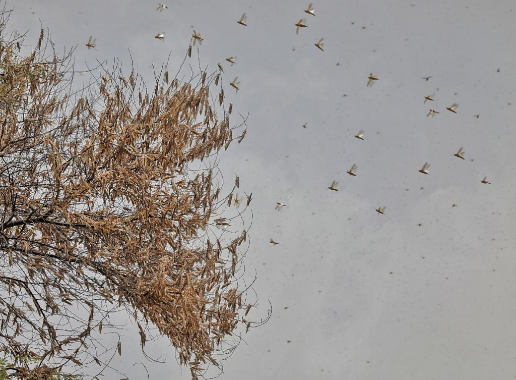 Locusts entering Bengal? Experts, govt officials say little chance