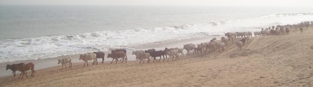 Cattle seen at the seaside village of Satabhaya. Large tracts of land lost fertility due to increase in salinity Photo: Ashis Senapati