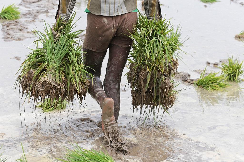 सरकार ने धान सहित खरीफ की 17 फसलों का एमएसपी घोषित कर दिया है। फोटो: विकास चौधरी