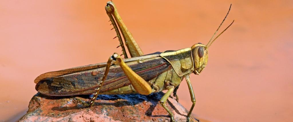 Desert locusts have hit least 40 out of 55 districts of Madhya Pradesh. Photo: Wikipedia