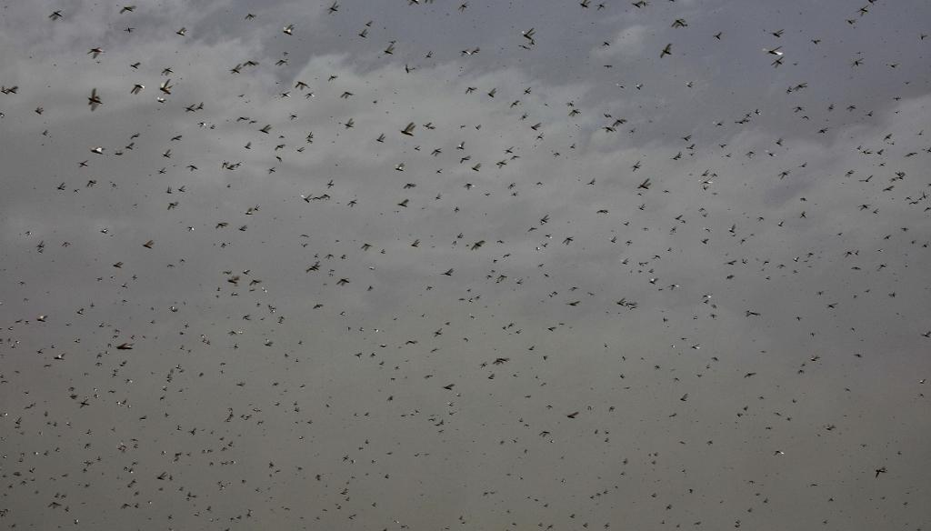 Locusts have wrought havoc in 24 of Rajasthan's 33 districts this year. Photo: Vikas Choudhary