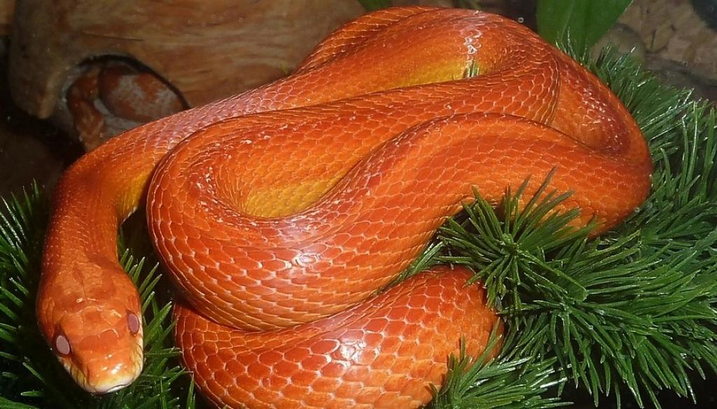 Experts say the MoEF&CC advisory on exotic animals does not answer all problems. Photo: A corn snake / Pixabay