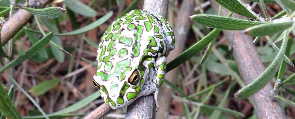 A spotted thighed tree frog. Photo: Sandra Gilfillan @gilfillansandr1 / Twitter