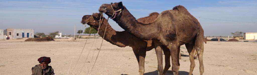 Camels infected with mange at Karanpura village in Bikaner district Photo credits: Suraj Singh / Desert Resource Centre