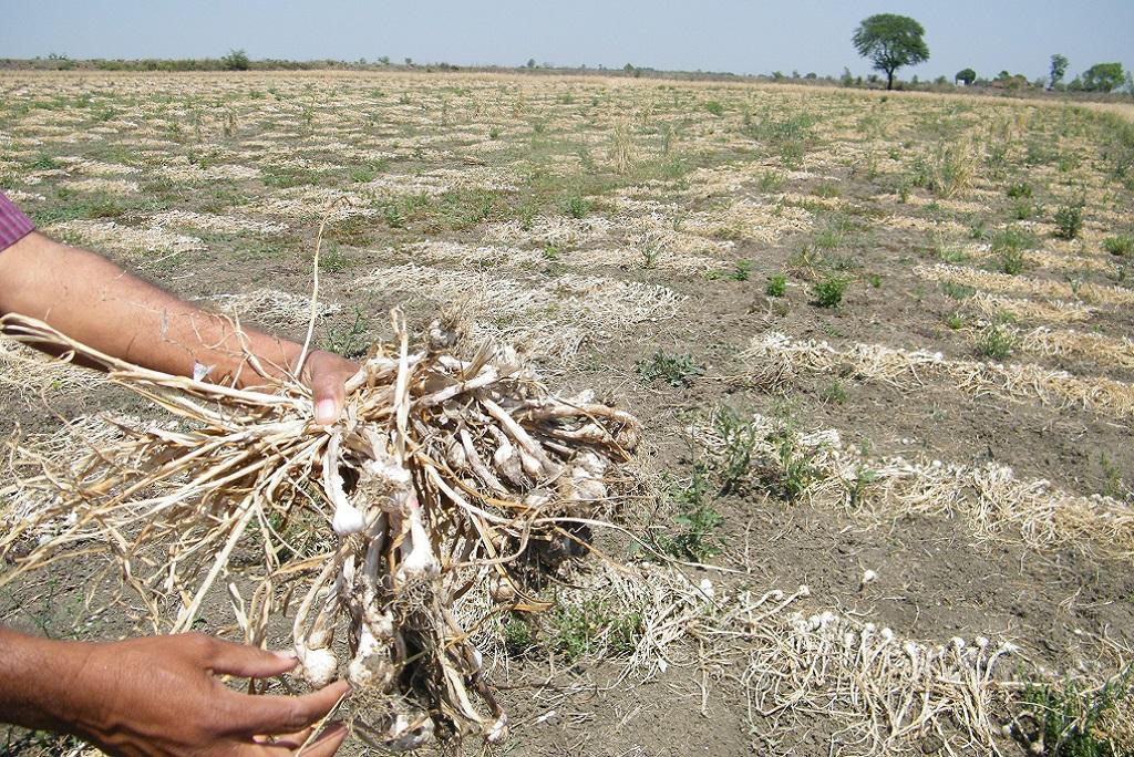 ओलावृष्टि की वजह से लहसुन की फसल को हुए नुकसान को दिखाता एक किसान। फाइल फोटो: कुंदन पांडेय