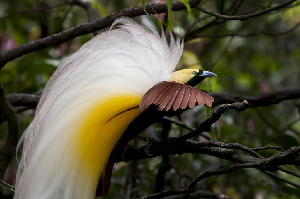 The Cendrawasih, commonly known as the Bird of Paradise, is facing extinction. Getty Images