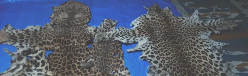 The Special Task Force (STF) of the Odisha Crime Branch recovered two leopard skins and bones at Ranapur in Nayagarh district and arrested a poacher on June 14. Photo: Ashis Senapati
