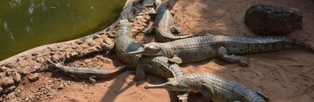 Gharial crocodile at Nandankanan. Photo: Wikimedia Commons