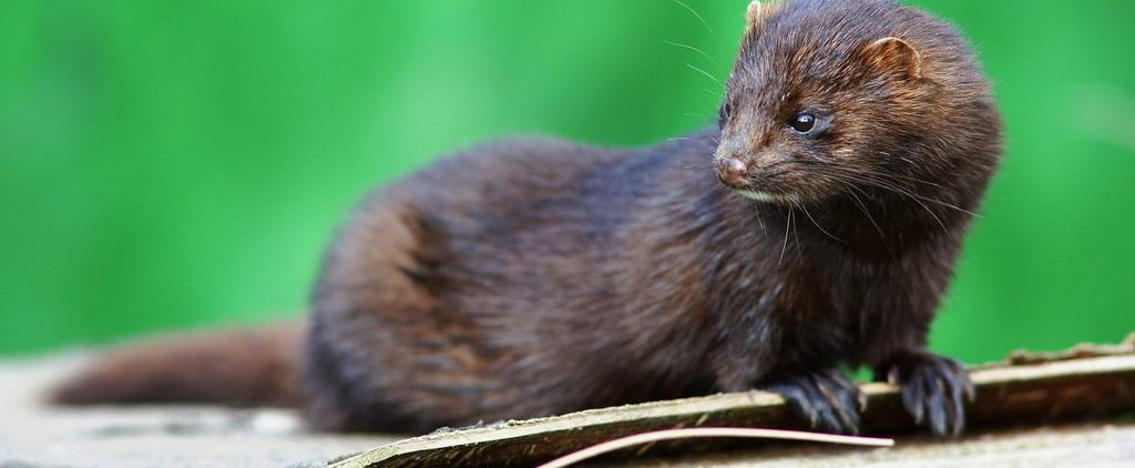 Several minks have been infected with SARS-CoV-2 in the Netherlands. Photo: Flickr