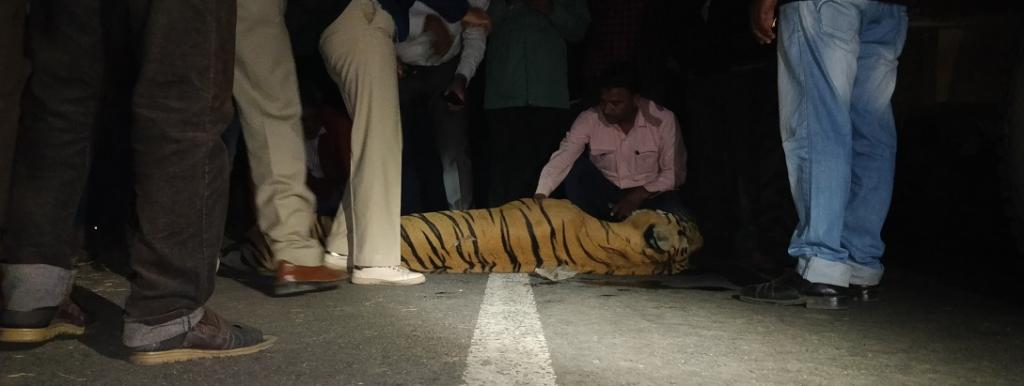 A tiger that ended up as roadkill. Photo: @RoadkillsIndia / Twitter