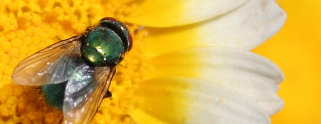 Pollination by flies (myophily) is economically important: In tropical areas, flies are primary pollinators Photo: Snap / Flickr
