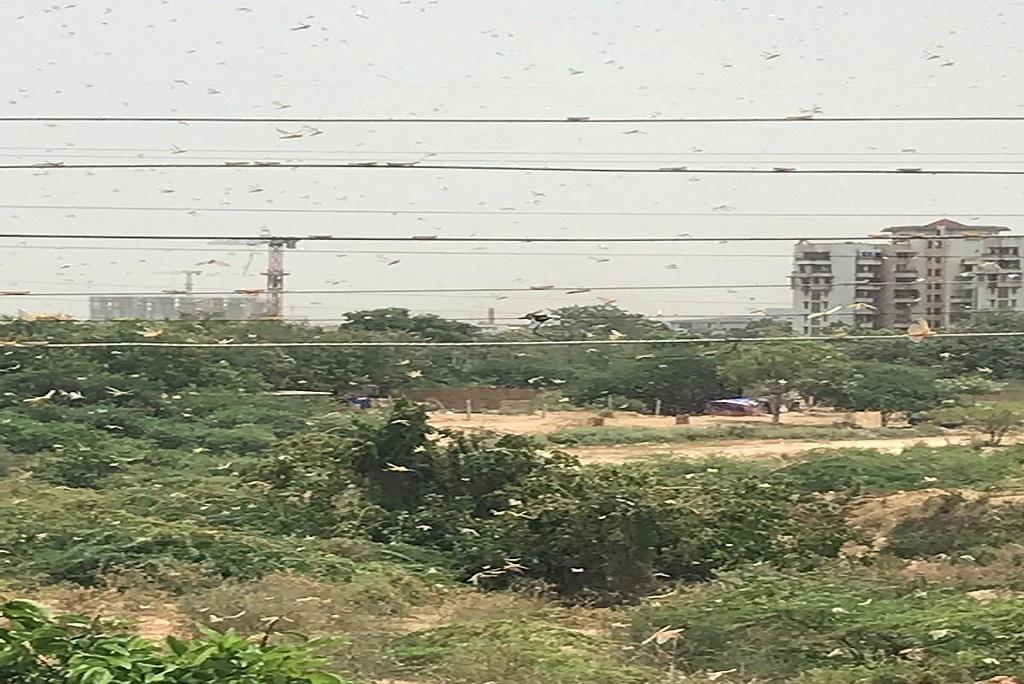 दिल्ली से सटे ग्रीन फील्ड कॉलोनी में पहुंचा टिडि्डयों का दल। फोटो स्निग्धा दास