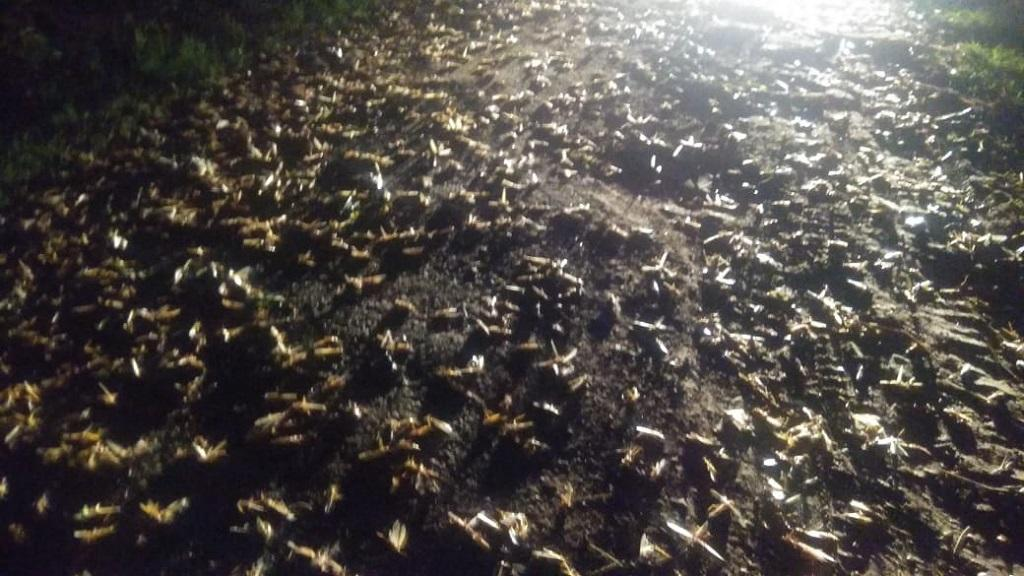 Locust attack in Uttar Pradesh