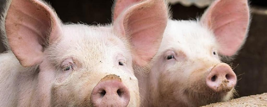 The new genotype of the H1N1 virus strain has shown 'increased human infectivity' in swine industry workers. Photo: https://www.pikist.com/