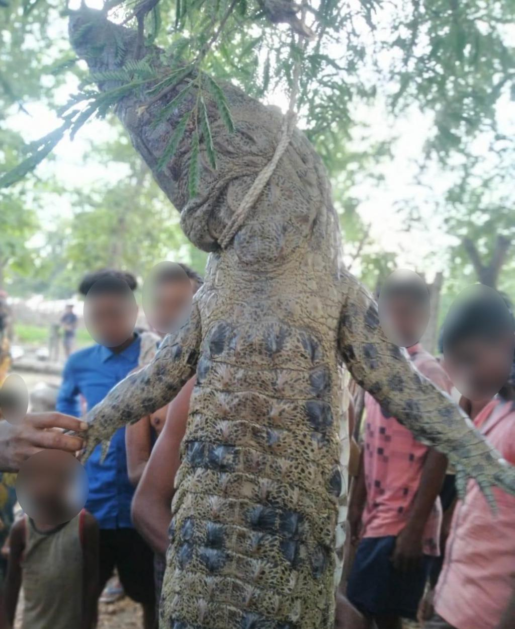 The crocodile was thrashed and killed by the villagers, who hung it on a tree in the village Photo: Ashis Senapati