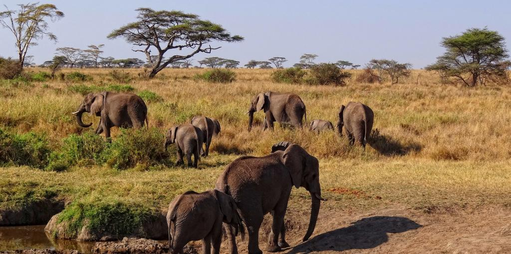 It is still not known what caused the deaths of elephants in Botswana. Photo: Wikimedia Commons