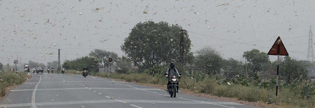 A swarm of one sq km of contains over 40 million locusts that can eat the same amount of food in a day as 35,000 people Photo: Vikas Choudhary