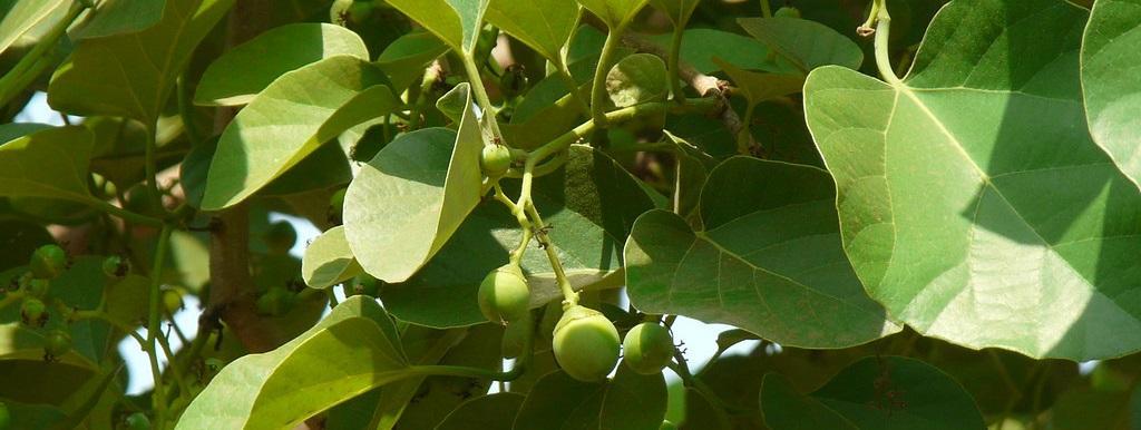Lasoda tree grows in deep and moist black loamy soil. Photo: Flickr