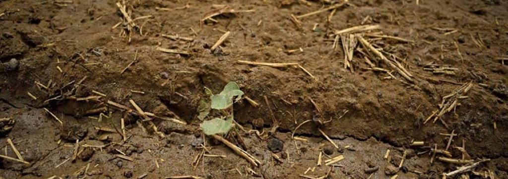 A cotton farm belonging to Mahaveer Saran of Beenjhbaila village in Sri Ganganagar district of Rajasthan. Before locusts attacked the village on May 26, young plants dotted the field Photo: Adithyan