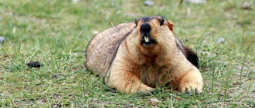 After bats, do not make marmots into villains: Expert