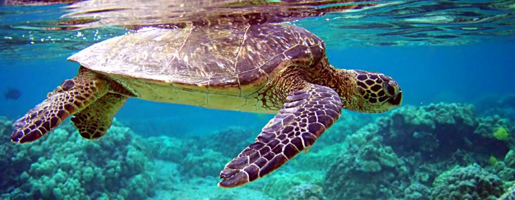 The green sea turtle is a migratory species of turtle associated with the spread of zoonoses Photo: Wikimedia Commons