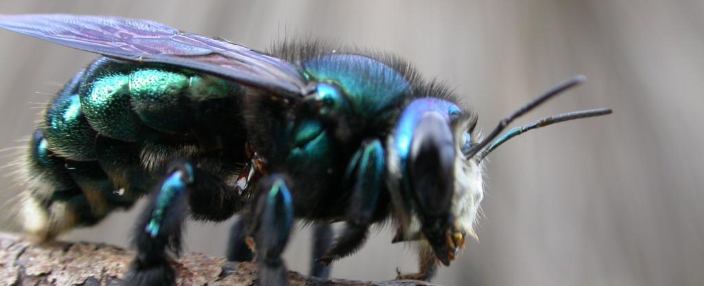 With a body length of about two centimetres, the green carpenter bee is among the largest native bees in southern Australia Photo: Remko Leijs, Author provided