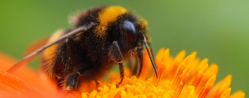 A fungal pathogen is infecting bees for around two decades. Photo: Wikimedia Commons