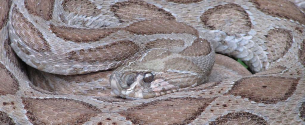 1.2 million Indians were killed in the last 20 years due to snake bites mostly involving Russell's Vipers, Kraits and Cobras. Photo: Wikimedia Commons