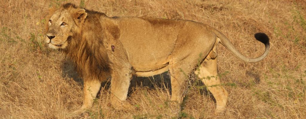 The Gujarat government is yet to spend a sum of Rs 26 crore since 2018-19 meant for the conservation of the endangered Asiatic lion in the state. Photo: Wikimedia Commons