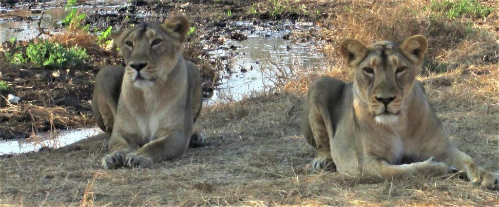 A host of diseases caused 44 of the 85 Asiatic Lion deaths in Gujarat's Gir in the first five months of 2020, a government report has said. Photo: Wikimedia Commons