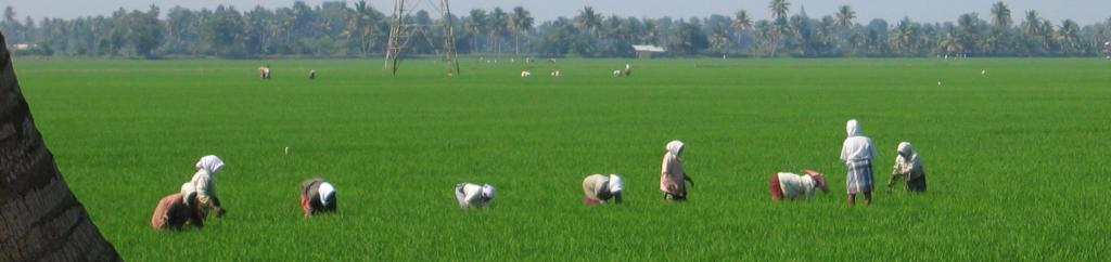 Paddy Watch will be the world's first real-time monitoring platform for rice fields. Photo: Wikimedia Commons